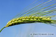 Photo d'un épi de blé vert