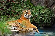 Photos d'un tigre du Bengale