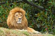Photos des lions d'Afrique