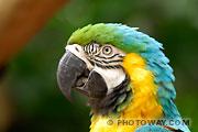 Photothèque d'oiseaux : photo d'un perroquets Ara bleu