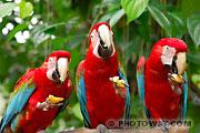 Banque d'images d'oiseaux : photo de 3 perroquets Ara Chloroptère