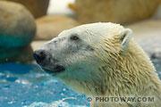 Photo d'un ours blanc