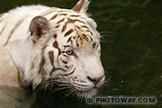 Photo d'un tigre blanc, le Tigre Royal d'Asie