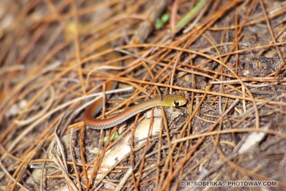 Serpent en Australie