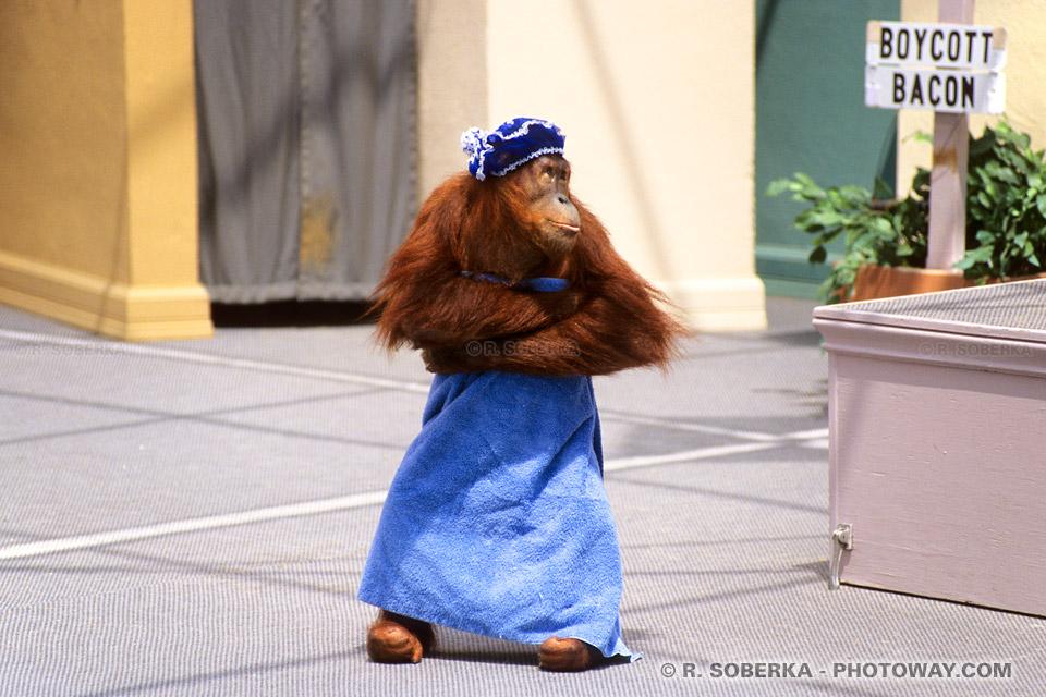 Photos de chimpanzés : Photo d'un chimpanzé acteur d'Hollywood