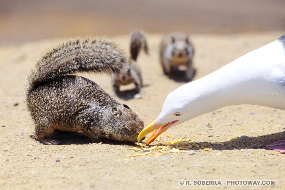écureuil Nord Américain en Californie