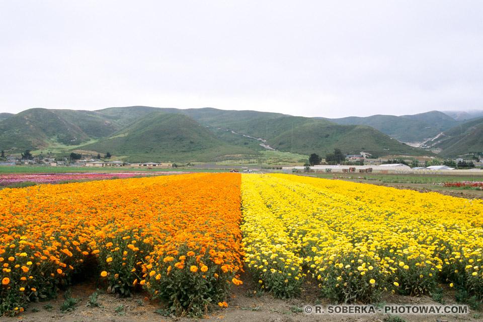 Photos de champs de fleurs : Photo à Lompoc en Californie aux Etats-Unis