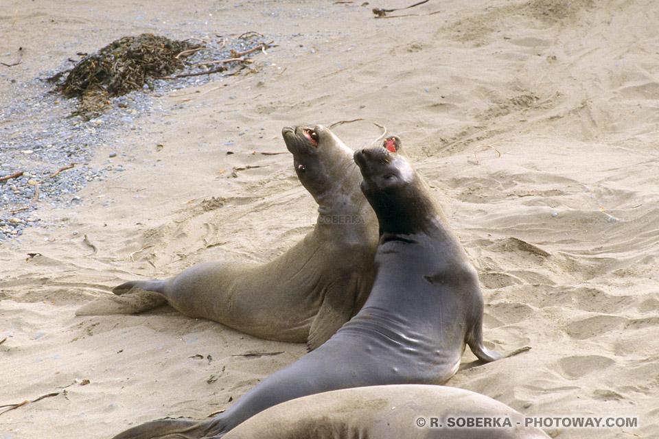 Photos d'animaux Sauvages : photo de phoques sauvages en Californie