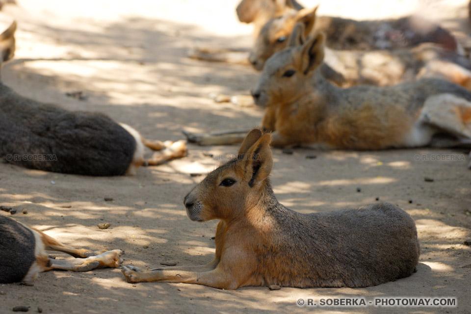 Photo d'un Mara : Photos du lièvre de Patagonie
