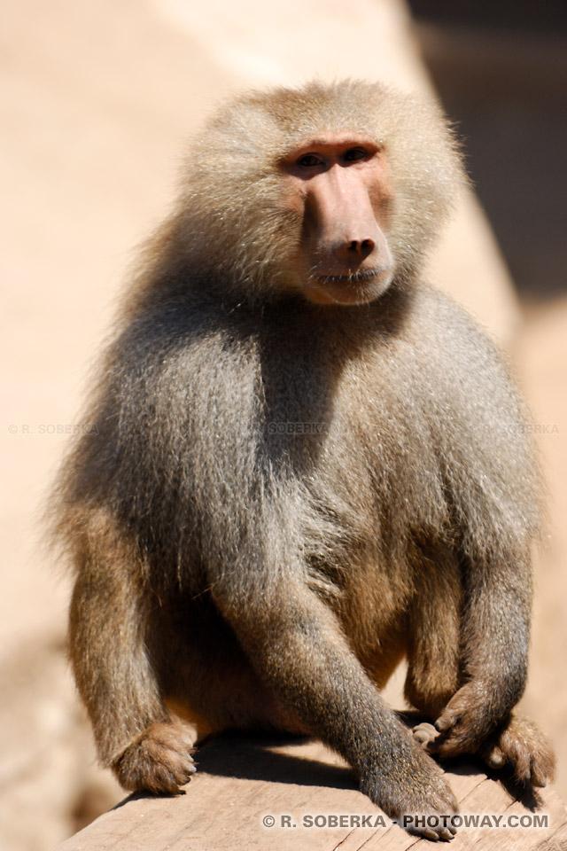 Photo d'un babouin : image d'un babouin un singe d'Afrique australe