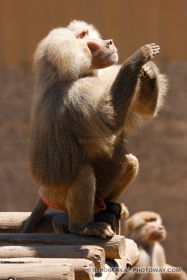 Photos de babouins : images de babouins singes d'Afrique australe