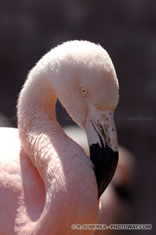 Photo de l'oeil inquisiteur d'un Flamant rose au Chili