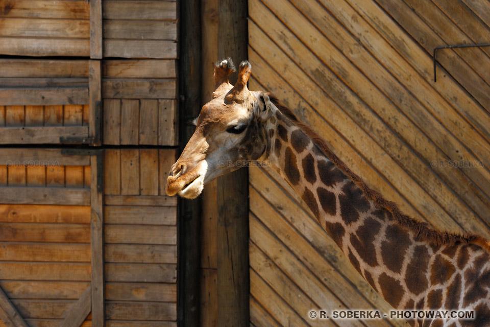 Photos de girafes : Photo d'une girafe dans le zoo de Santiago au Chili