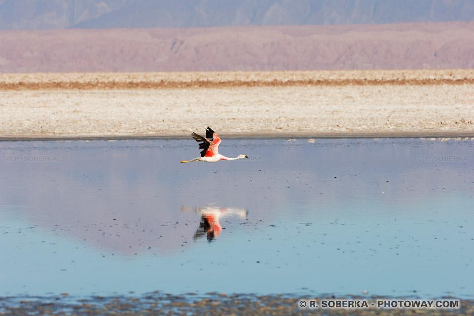 Lieu de nidification des Flamants Roses dans la Lagune Chaxa au Chili