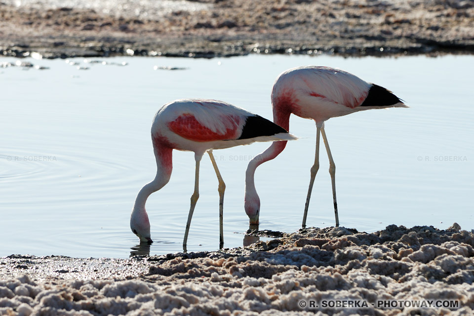 Alimantation des Flamants Roses, photo du repas !