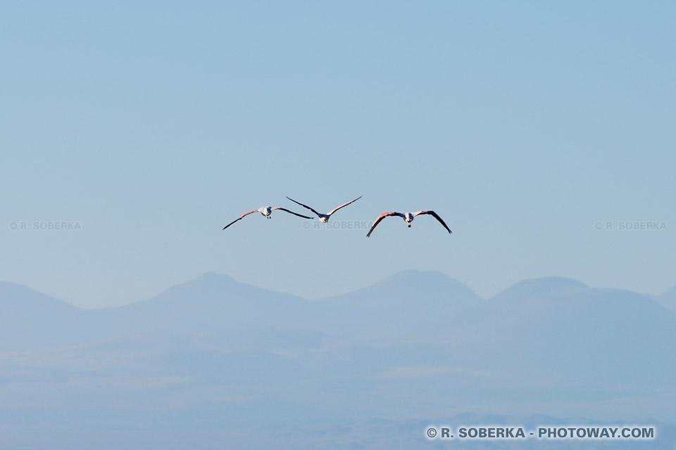Images Flamants des Andes en vol photos au Chili