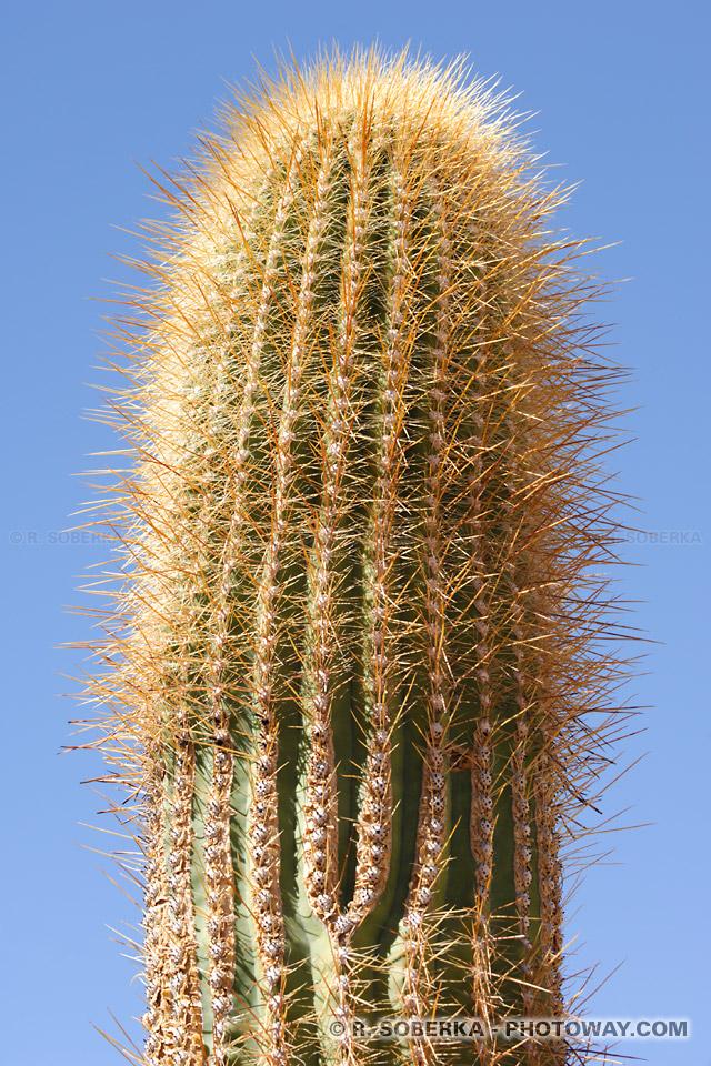 Cactus dans le désert d'Atacama au Chili