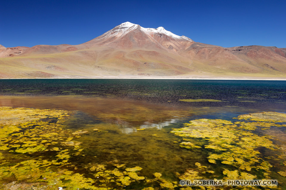 Plantes aquatiques d'eau saumâtre - lagune Miniques - Chili