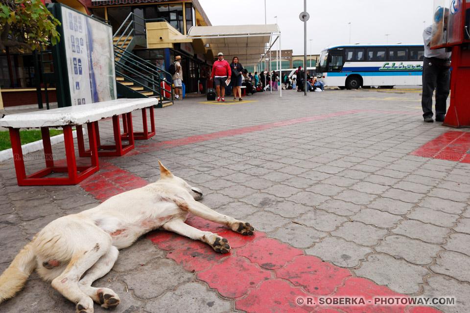 Chiens errants photo d'un chien errant images du Chili