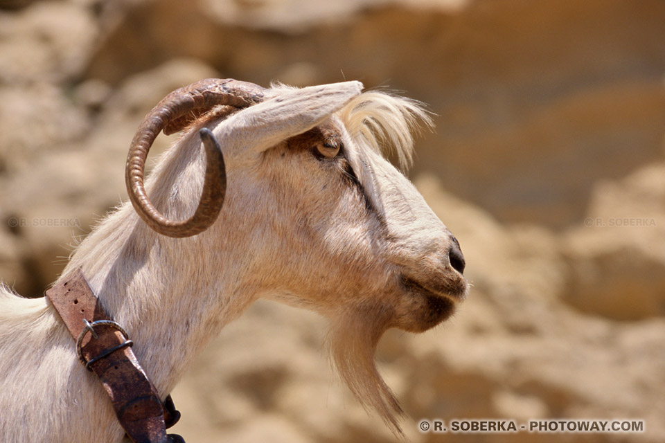 Photos de chèvres photo d'une chèvre banque d'image animaux domestiques