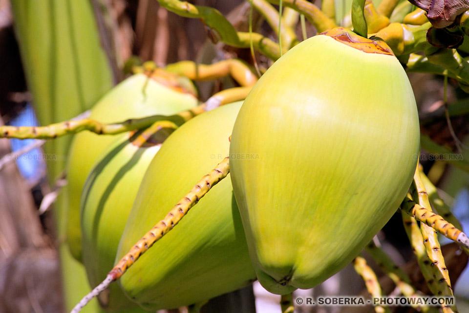 image Photos de noix de coco fraîche photo sous les tropiques voyage à Cuba sur Photoway