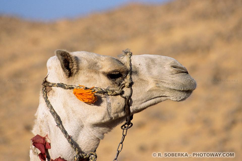 Photos chameaux photo dans le désert egyptien stock images