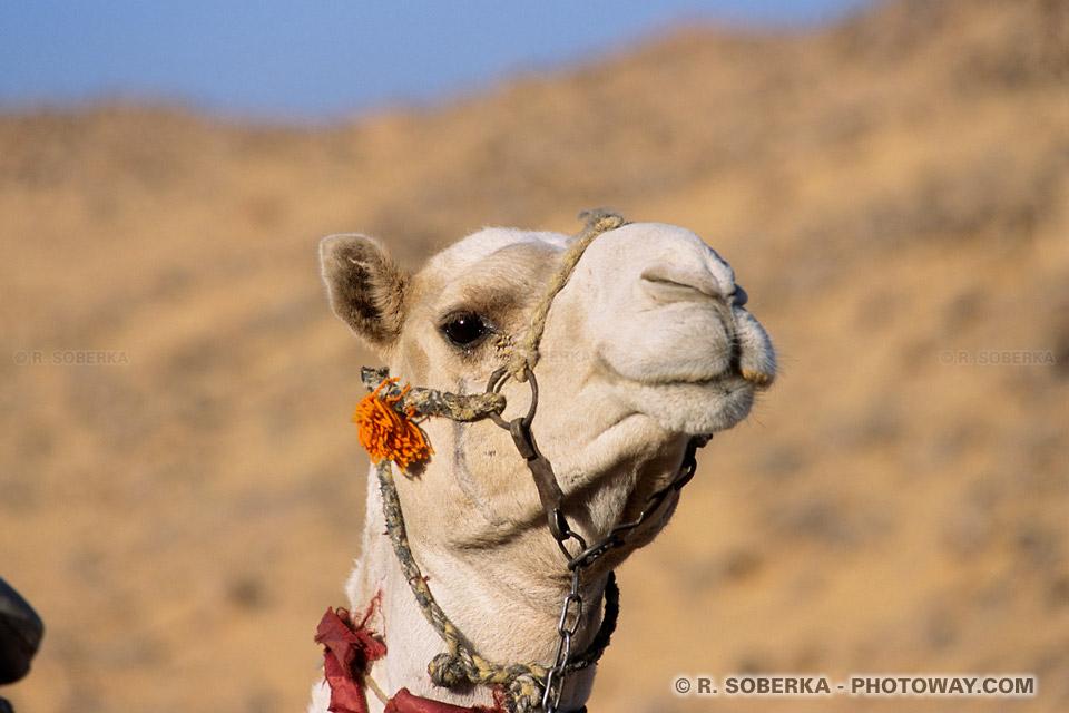 Photos de chameau photo sympathique dans le desert voyage en Egypte