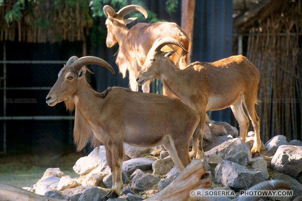 Image Photos de mouflons photo d'un mouflon des monatgnes à Dubaï