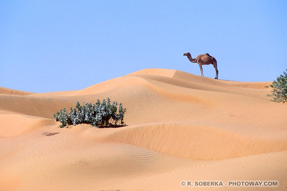 Image Photo de dromadaire photos dromadaires à une bosse dans le désert