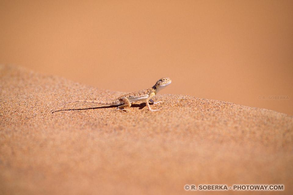 Image Photo de lézard photo d'un lézard dans le désert des Emirats Arabes