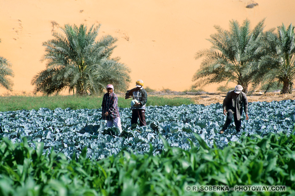Image Photo de choux photos culture des choux oasis de Liwa désert Arabe