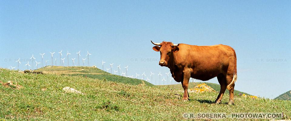 Vaches Tarifa