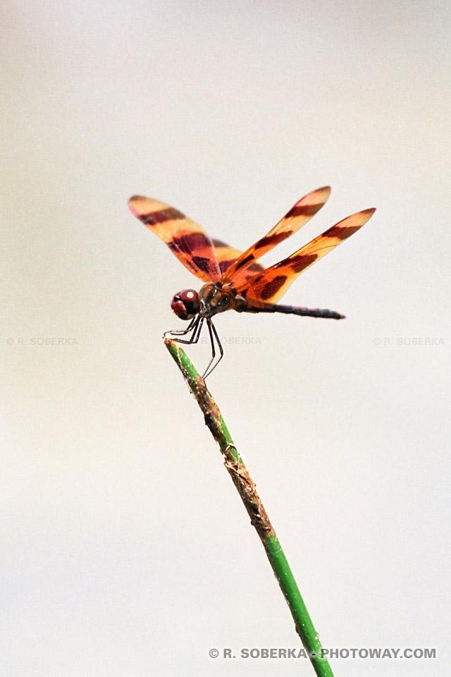Photos de libellules - photo d'une libellule en Floride