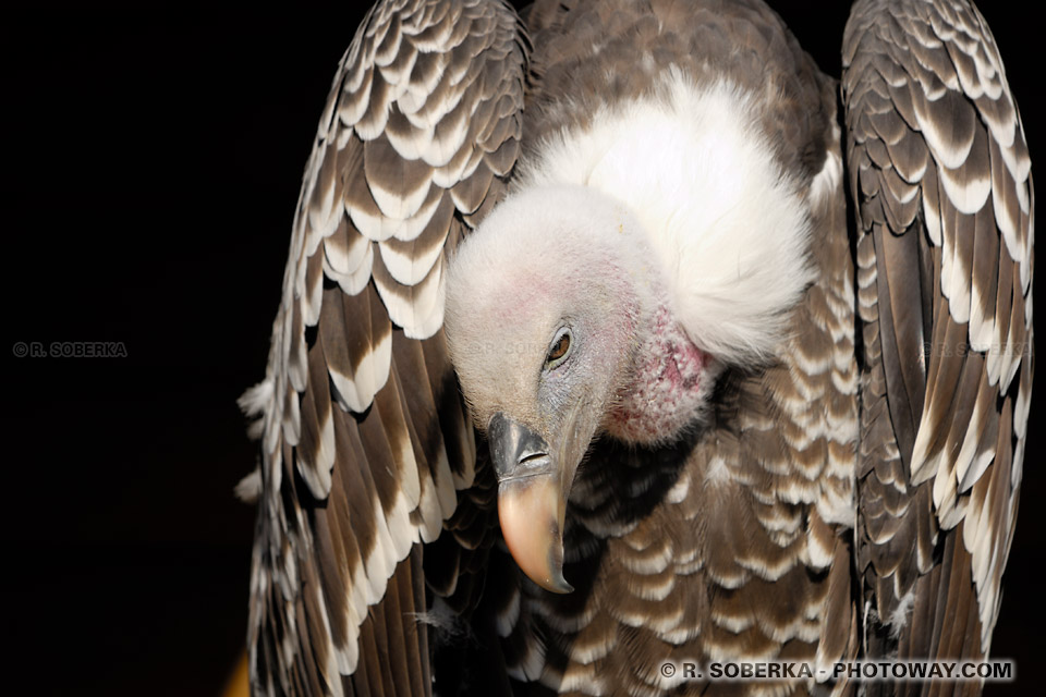 http://www.photoway.com/images/france-ardennes/ARD06B_043-vautour.jpg
