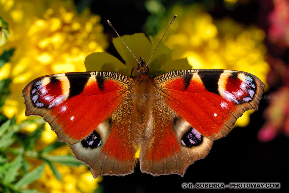 Photo d 39 un papillon photos papillons images phototh que insectes - Images de papillon ...