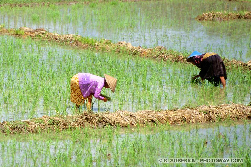 Photos de repiquage du riz photo d'une rizière en indonésie