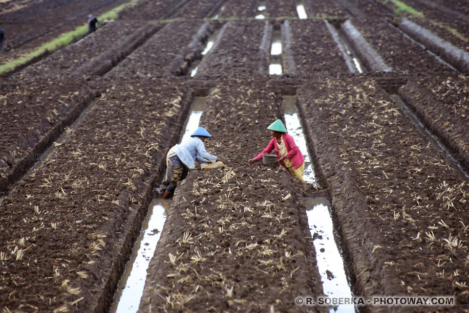 Photo de la culture de riz : photos dans les rizières en indonésie