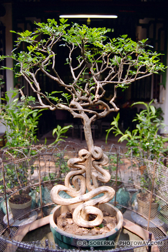 Photos de bonzaï sacré photo de bonzai dans temple de Kun Lam à Macao