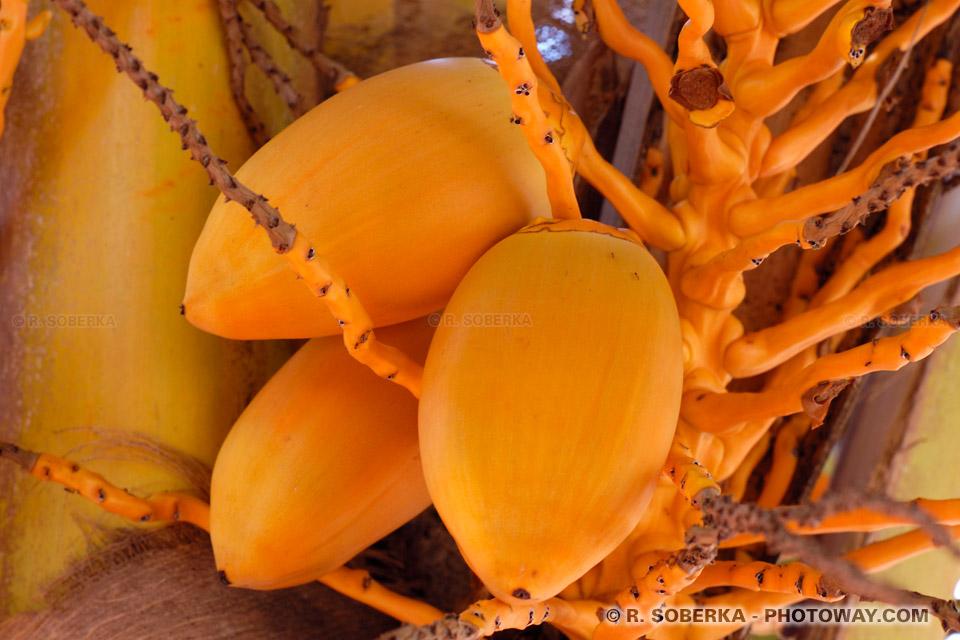 noix de coco jeunes