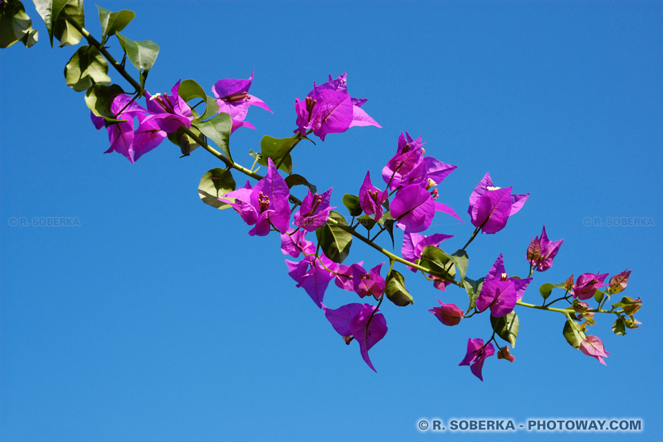 Photo de bougainvilliers fleurs tropicales