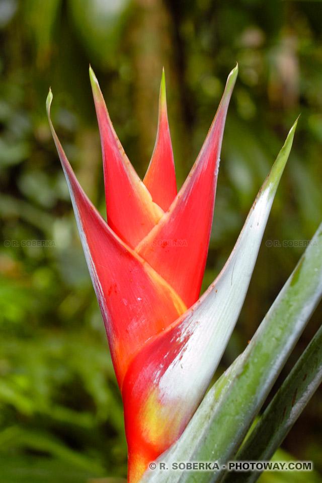 fleur de Balisier