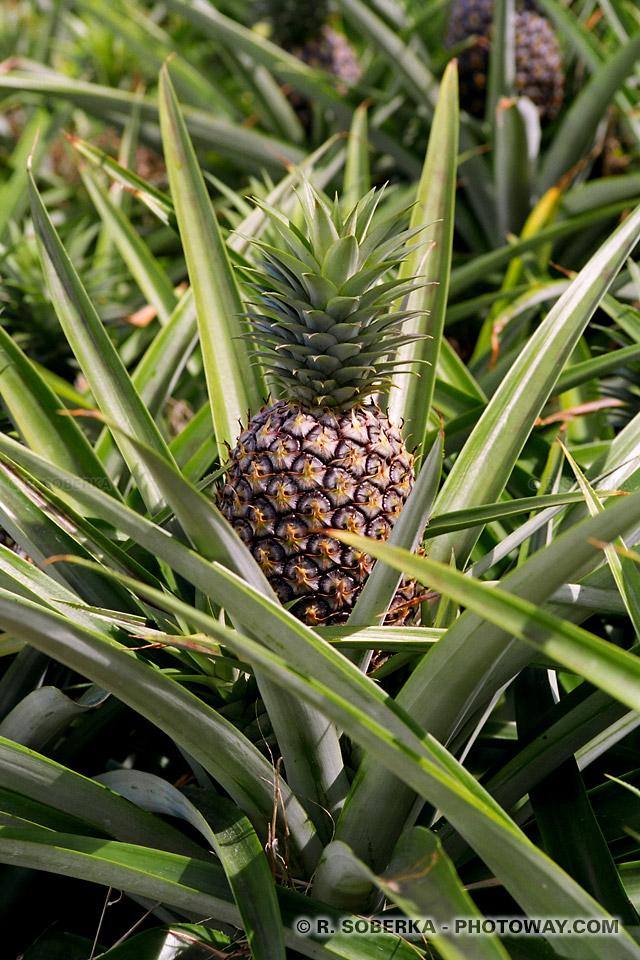 photos d 39 ananas photo d 39 un ananas photos dans une plantation d 39 ananas. Black Bedroom Furniture Sets. Home Design Ideas