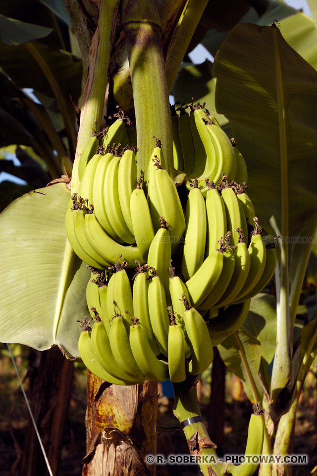 régime de bananes