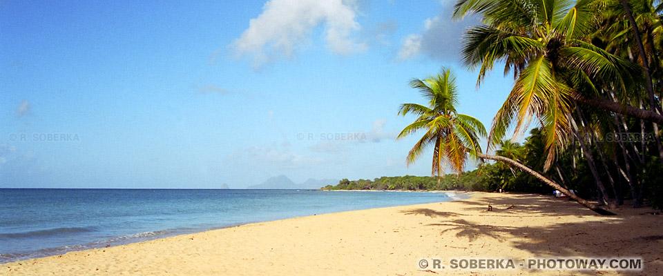 cocotiers penchés Martinique