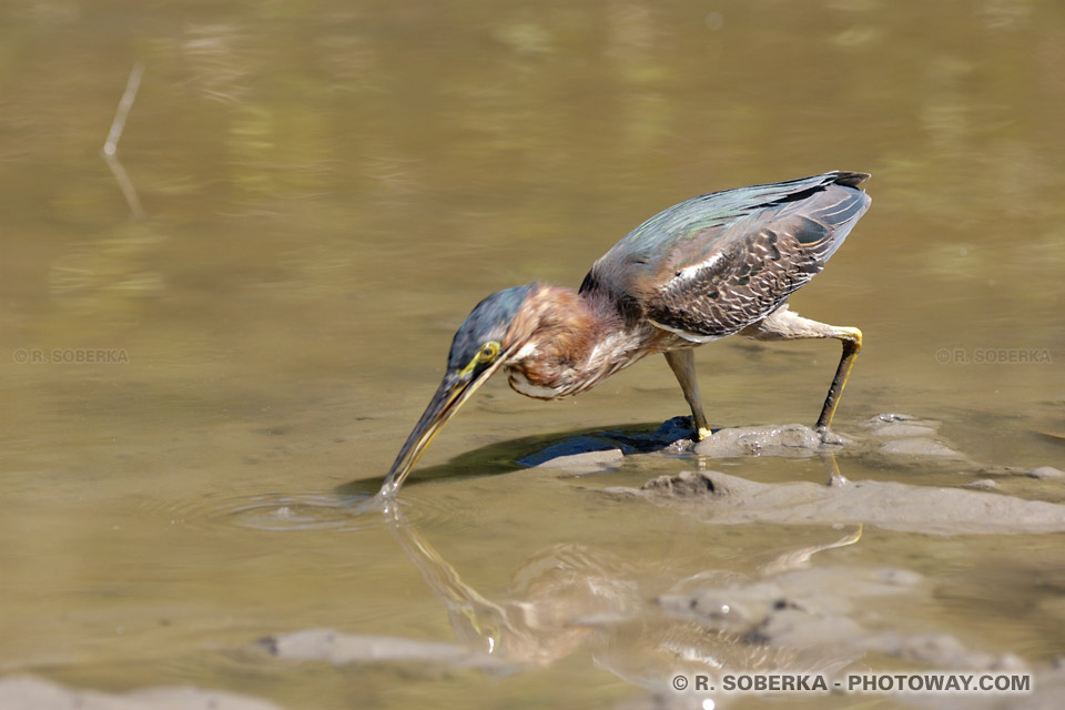 faune de la mangrove