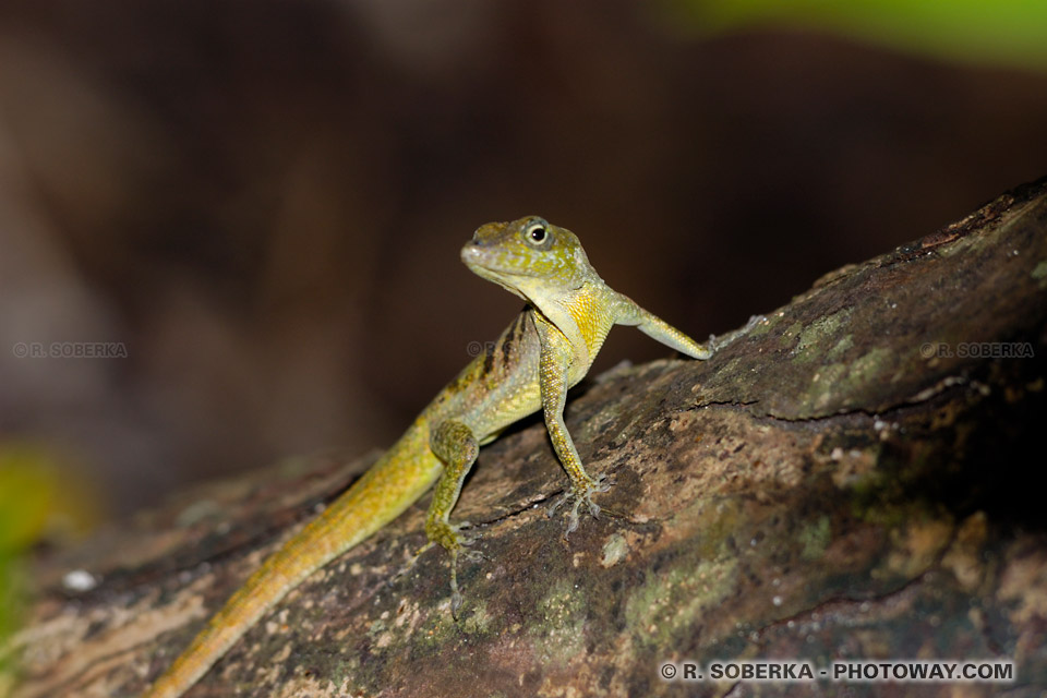 lézards Martinique