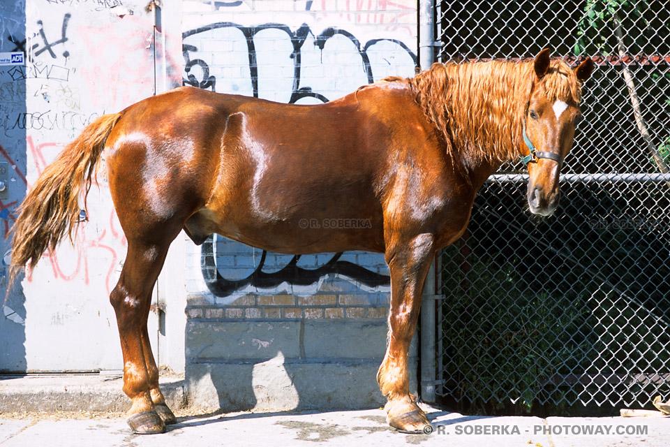 Photos de chevaux américains photo d'un cheval à New York !