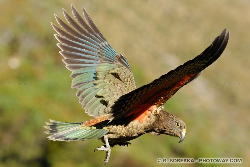 Photos d'oiseaux, photo d'un Nestor Kea de Nouvelle-Zélande