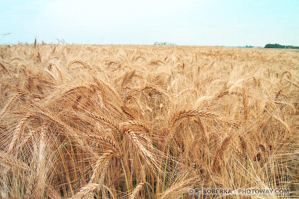 Photos et images d'épis de blé photo reportage et photothèque de Pologne sur photoway