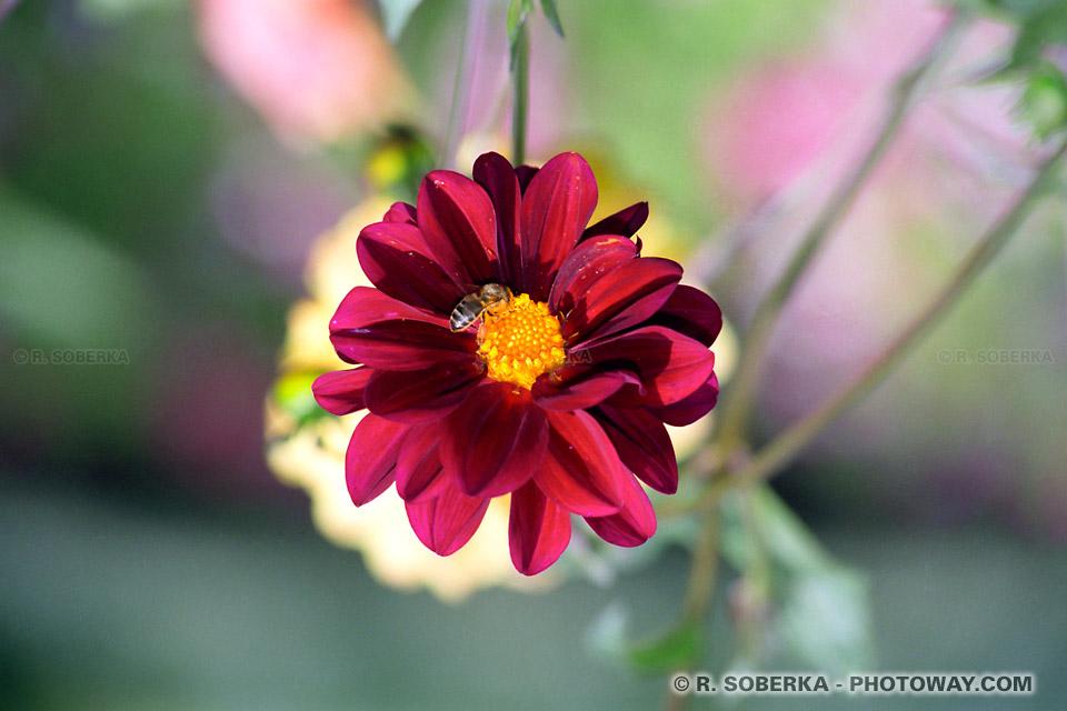 Photo d'une fleur avec une abeille photos de fleurs rouges